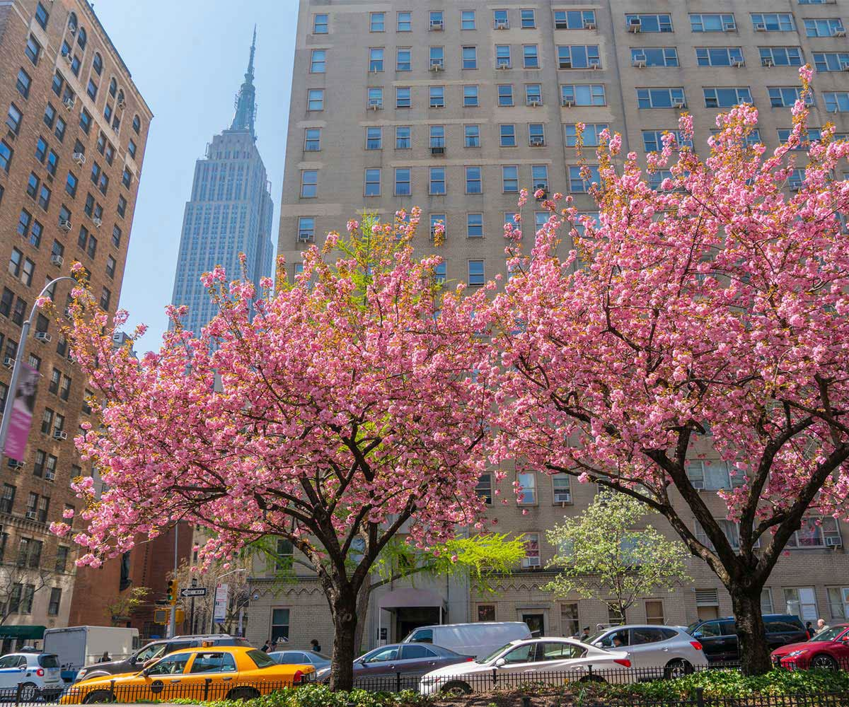 Cherry blossom tree in New York